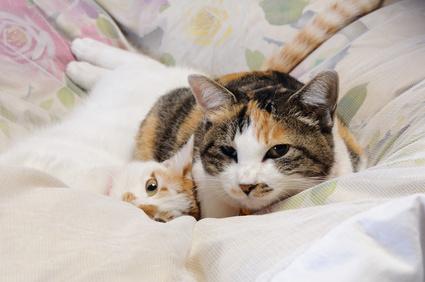 羽毛リフォーム・布団仕立て直しのイメージ猫が羽毛布団で寝転がる